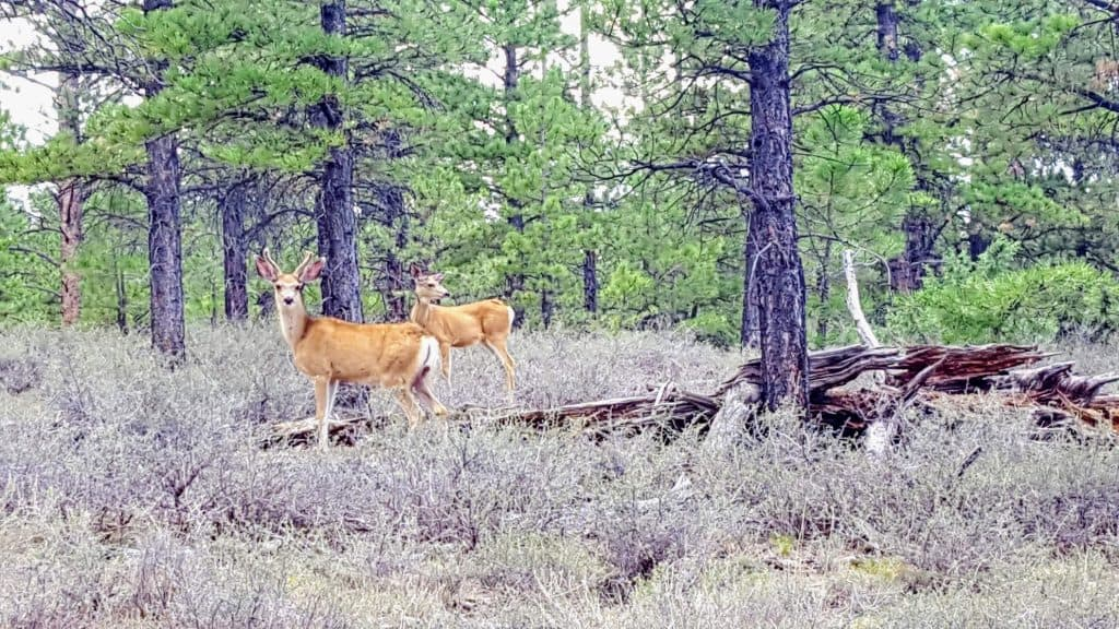 Two deer along the shared-use path on the way into Bryce Canyon National Park