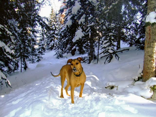 dog standing in the snow with pine trees in the background