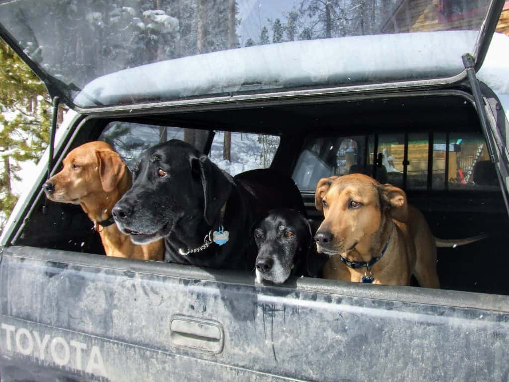 Fpur dogs looking out of the back of a truck