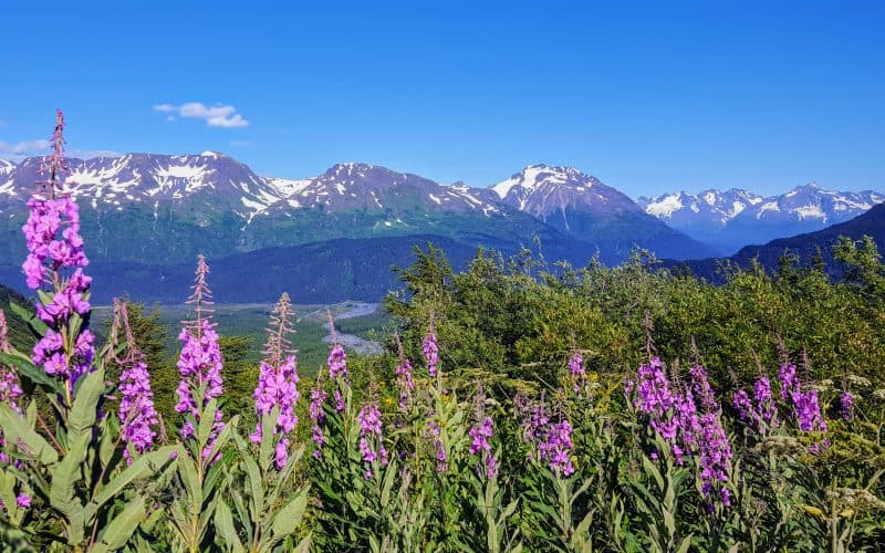 fireweed flowers with snow capped mountains in the back ground in Alaska
