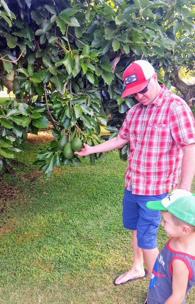man pointing to a huge avocado growing on a tree in Hawaii