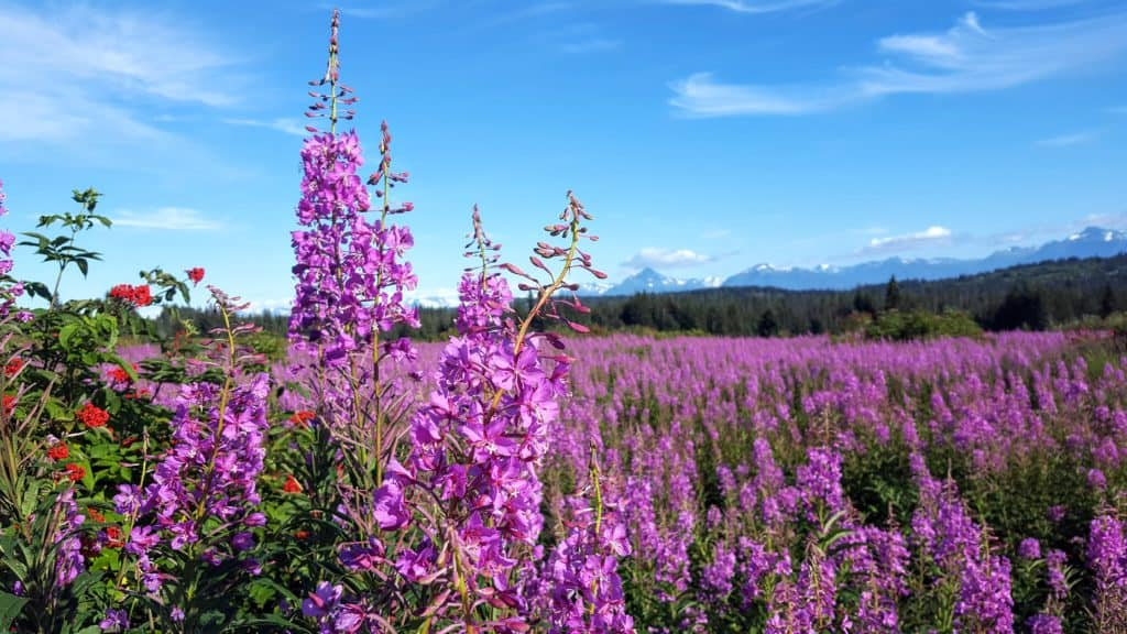 fireweed in Alaska with mountains in the background