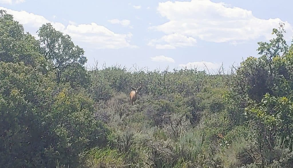 Buck deer in the trees at Black Canyon of the Gunnison National Park