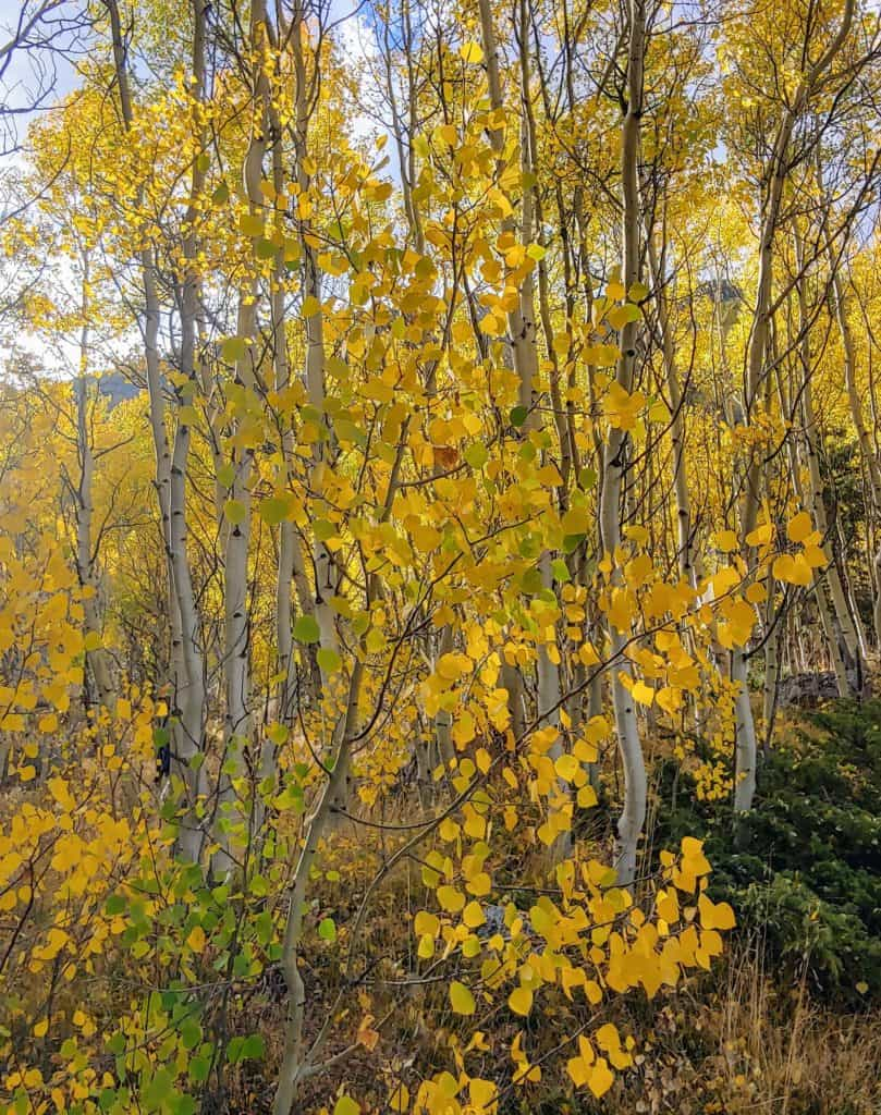 yellow aspen leaves to see on a leaf-peeping drive from Denver into the Rocky Mountains