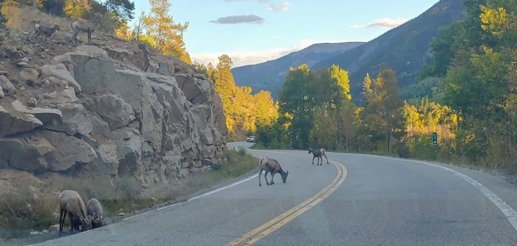 Sheep on the road - leaf-peeping drive from Denver