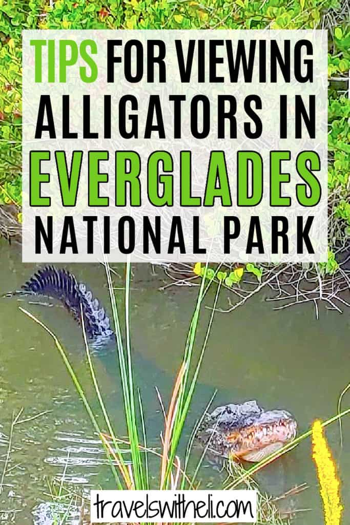 Alligator in the water - text- tips for viewing alligators in Everglades National Park